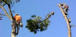 Rizikové kácení stromů v Opočně